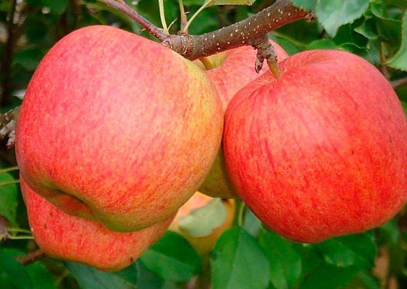 Яблоня Зари Ред крупноплодные, летний срок созревания