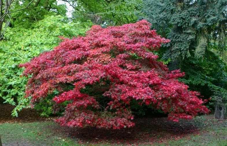 Клен пальмолистный Атропурпуреум (Atropurpureum) декоративное дерево, крастнолистные деревья
