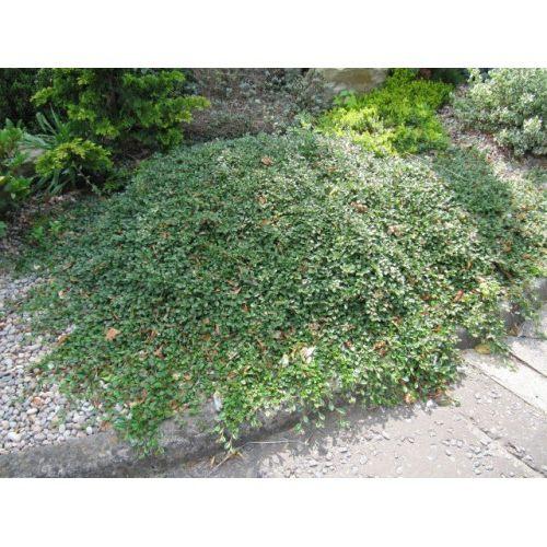 Кизильник Майор ( Major) почвопокровное растение