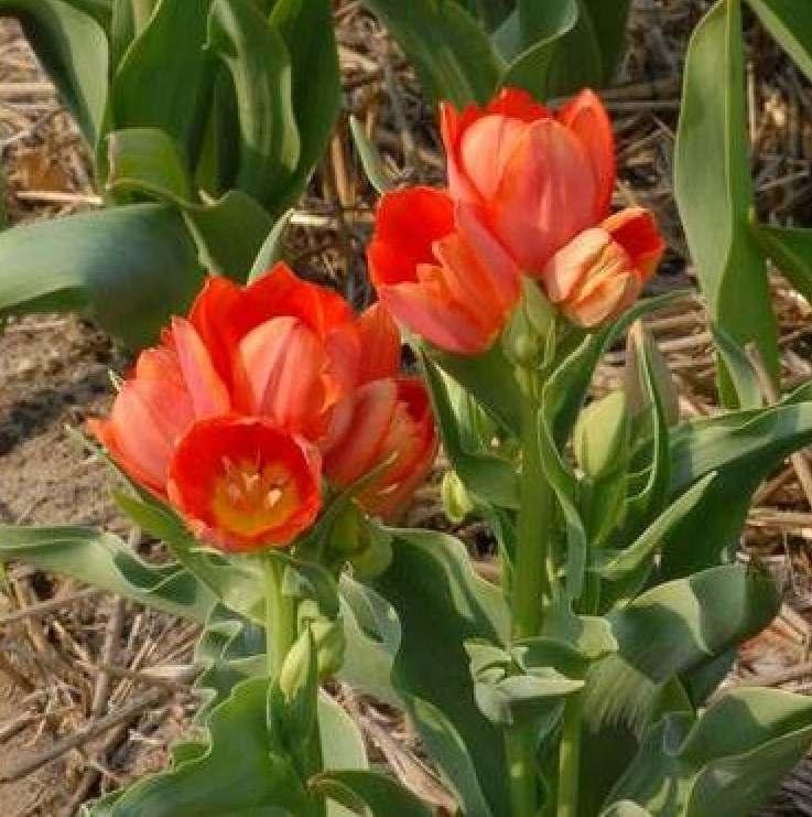 ТюльпанОранжевый букет (Orange Bouquet)