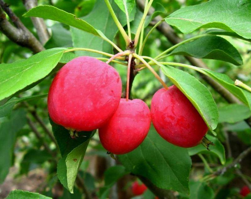 Яблоня Долго (райское яблоко) эксклюзив