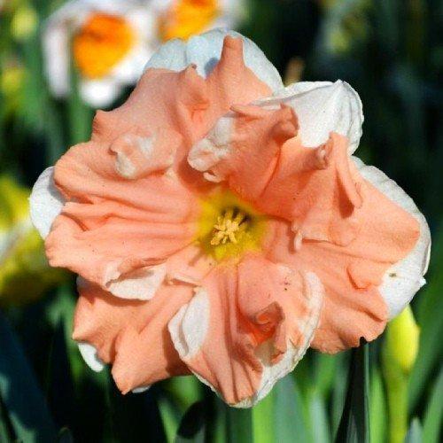Нарцисс Априкот Вирл (Apricot Whirl)