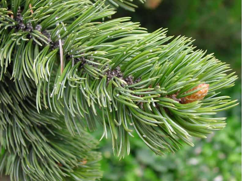 Сосна остистая (Pinus aristata)