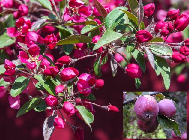 Яблоня Недзвецкого (райское яблочко) эксклюзив