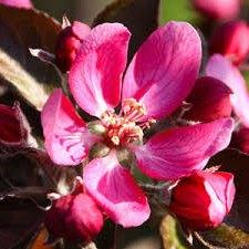 Дерево-сад яблоня Деличия-Эра эксклюзив, дерево-сад