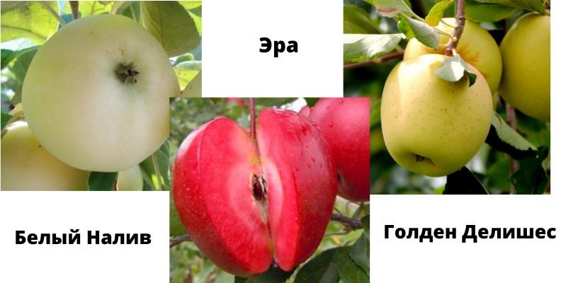 Дерево-сад яблуня Білий налив - Ера - Голден Делішес
