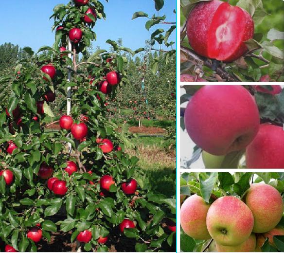 Дерево-сад яблуня Делічія-Ера-Чемпіон
