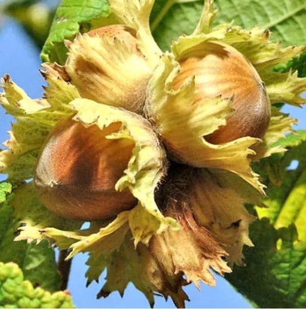 """Фундук """"Барселонский"""" (лещина) фундук, лещина, орех, плодовый кустарник"""