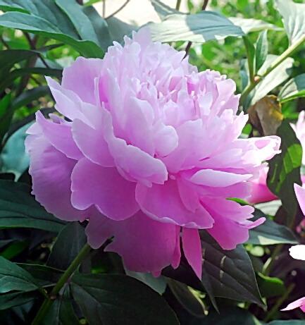 Пион Ling Hua Chen Yu ( Небесная парча) многолетники, ароматные, пион, травянистые пионы