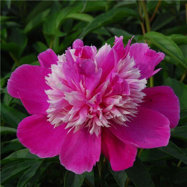 Пион Exotic Flower Kissing Frost многолетники, ароматные, для срезки, пион, травянистые пионы