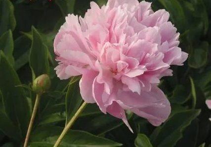 Пион Tao Hua Fei Xue - Blue Peri цветы, многолетники, ароматные, для срезки, пион, травянистые пионы