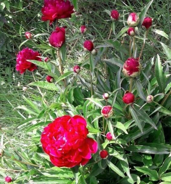 Пион Hong Yan Zheng Hui - Brilliant Red ароматные, для срезки, пион, травянистые пионы