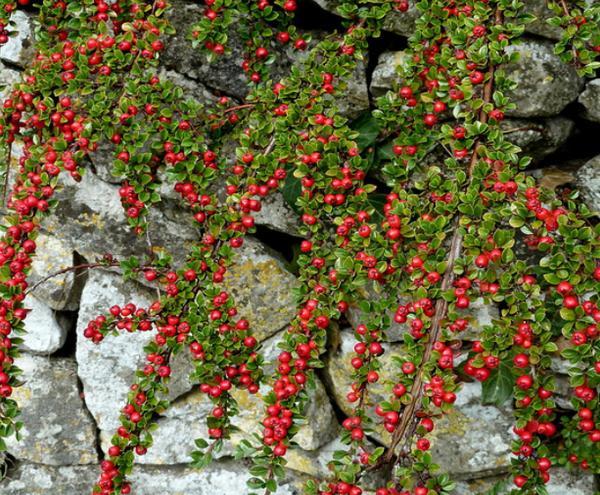 Кизильник крошечный (Cotoneaster perpusilus) декоративный кустарник, низкорослый