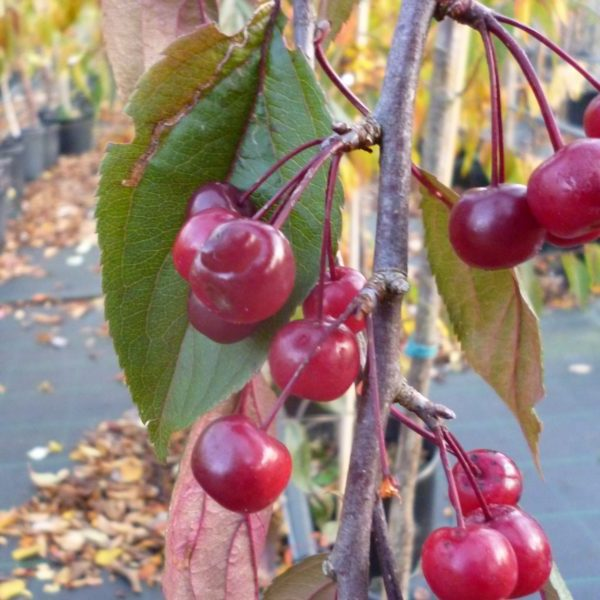 Яблоня Роял Бьюти (Royal Beauty ) Красивоцветущие растения, декоративное дерево