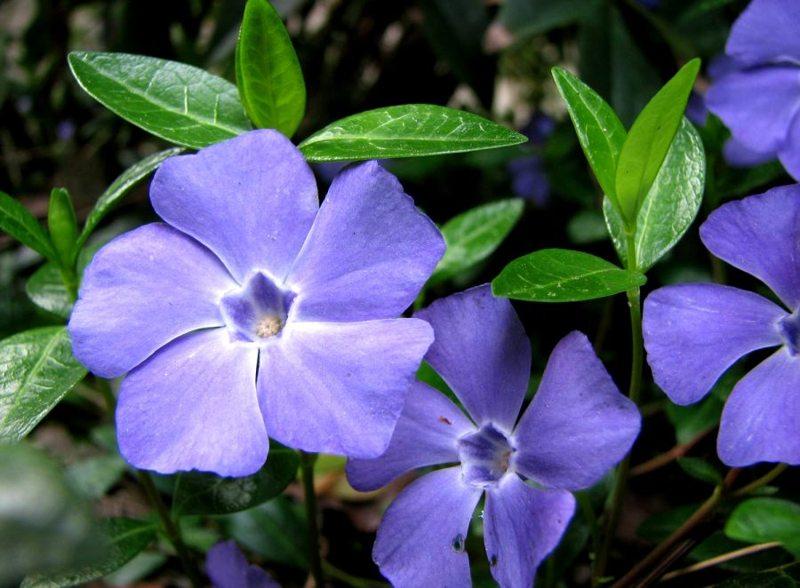 Барвинок (Vinca) нетребовательны, почвопокровное растение