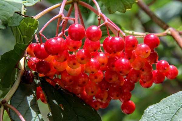 Калина садовая ( Vibúrnum ópulus) ягодные кустарники