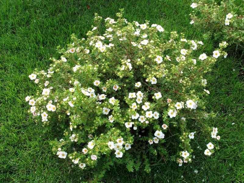 Лапчатка кустарниковая (Potentilla fruticosa) декоративный кустарник, красивоцветущий кустарник