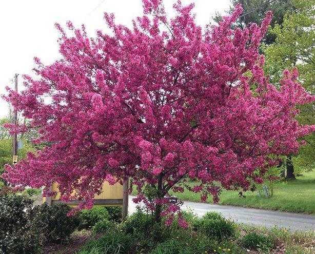Яблоня Роялти (Malus hybridus Royaltu) декоративное дерево, ароматные