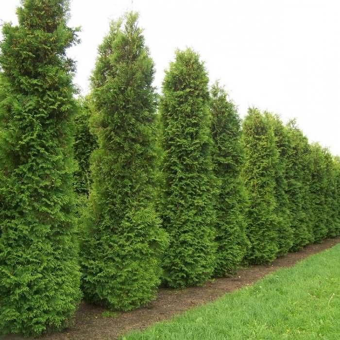 Туя западная Кинг оф Брабант (King of Brabant) живая изгородь, хвоя зеленая, нетребовательны