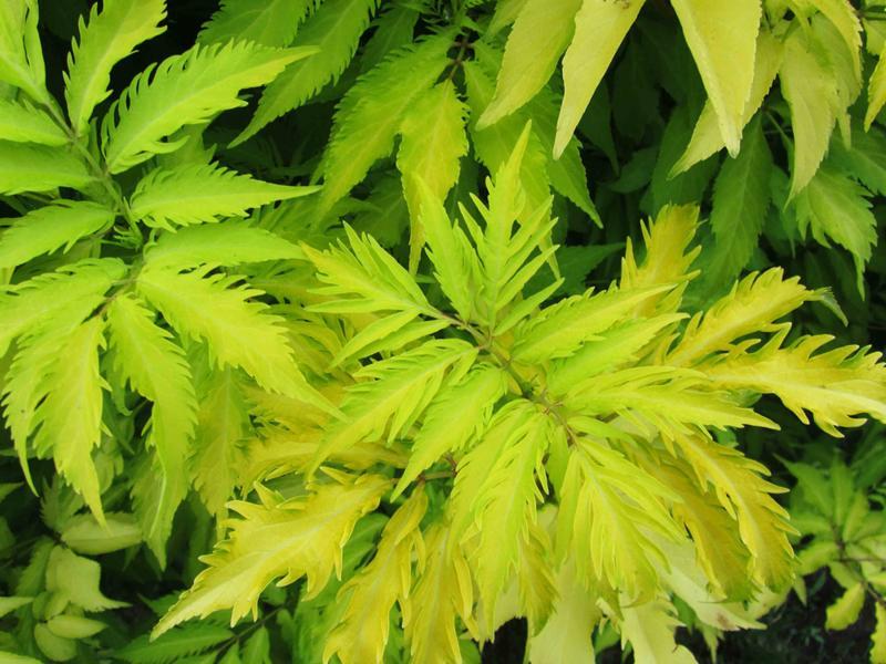 Бузина черная Ауреа (Sambucus nigra Aurea) лиственный кустарник, декоративный кустарник