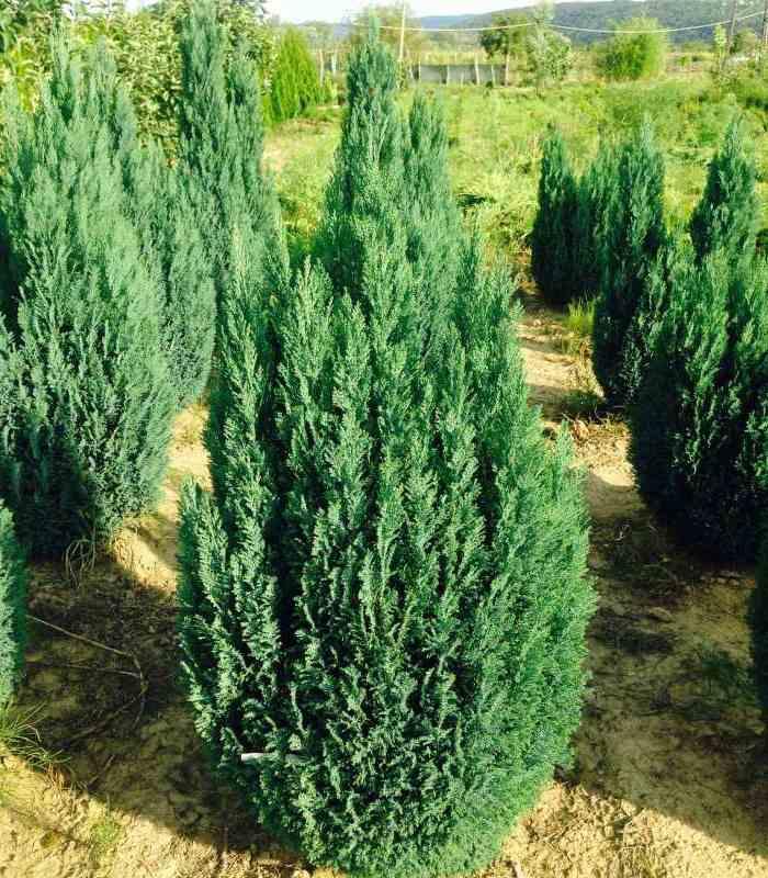 Кипарисовик Лавсона Элвуди (Ellwoodii) медленнорастущие растения, хвойные деревья