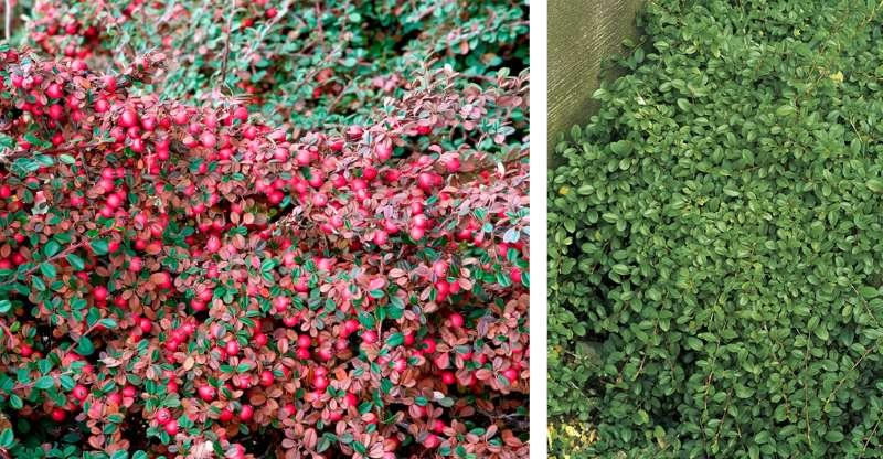 Кизильник Даммера Эйхольц (Eicholz) декоративный кустарник, почвопокровное растение