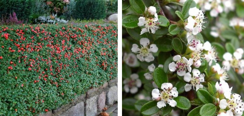 Кизильник гибридный Скогхолм (Skogholm) декоративный кустарник, почвопокровное растение