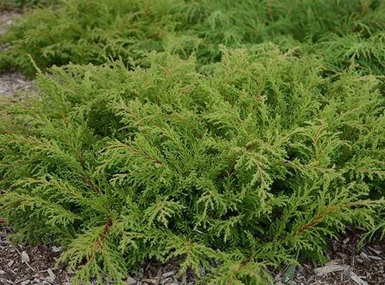 Микробиота Фазз Болл (Fuzz Ball) Нетребовательные садовые растения