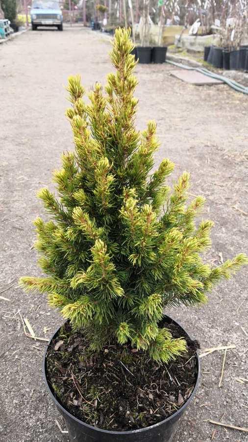 Ель канадская 'Рейнбоуз Энд' (Rainbow's End) медленнорастущие растения, карликовая ель