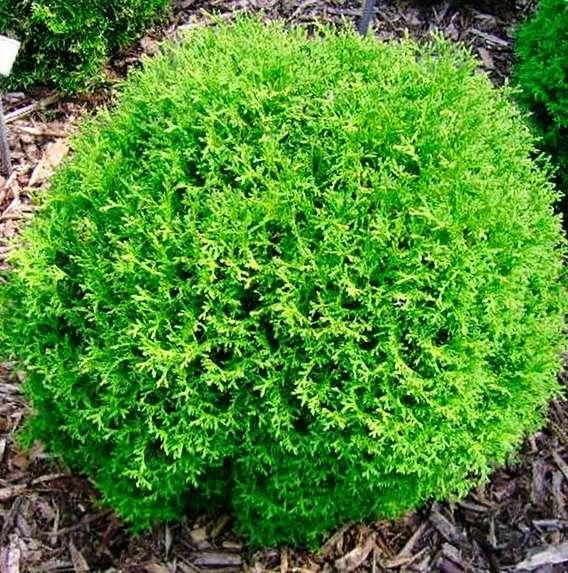 Туя западная Tини Тим (Thuja Tiny Tim) шаровидная крона, Нетребовательные садовые растения