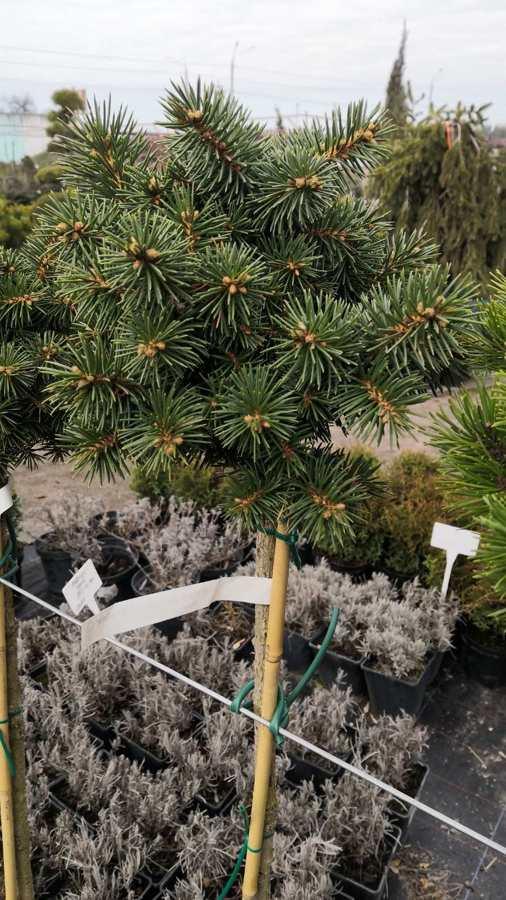 Ель колючая Брунек (Picea Brynek)