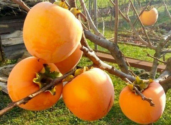 Хурма Виргинская плодовые деревья, среднерослые плодовые, плод