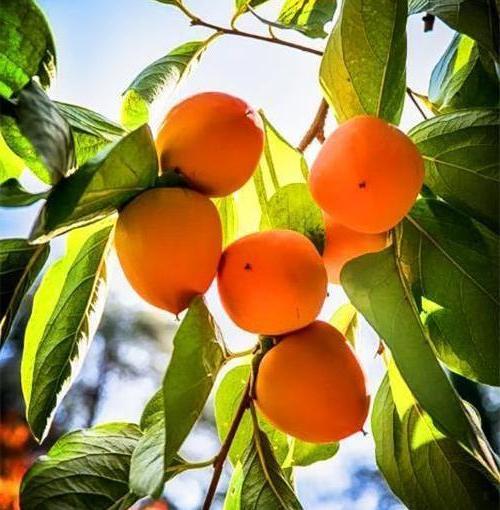 Хурма Мидер (Meader) плодовые деревья, обильное плодоношение
