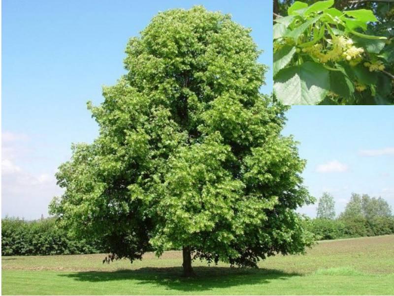 Саженцы деревьев для городского озеленения