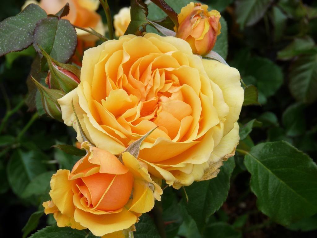 Роза Амбер Квин (Rose Amber Queen)