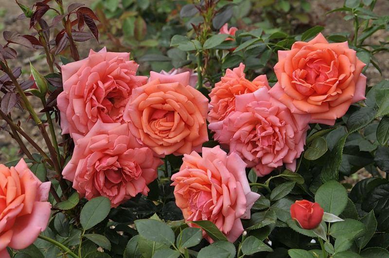 Роза Бермуда (Bermuda) розовая роза, устойчивая к болезням, аром