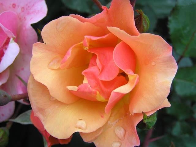 Роза Джаз (Jazz) почвопокровные розы, оранжевые розы, персиковая роза