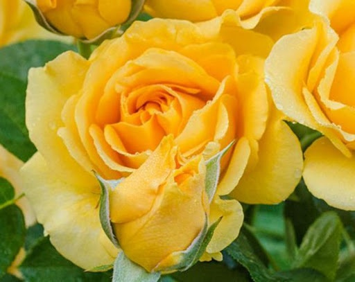 Роза Джулия Чайлд  (Rose Julia Child) желтые розы