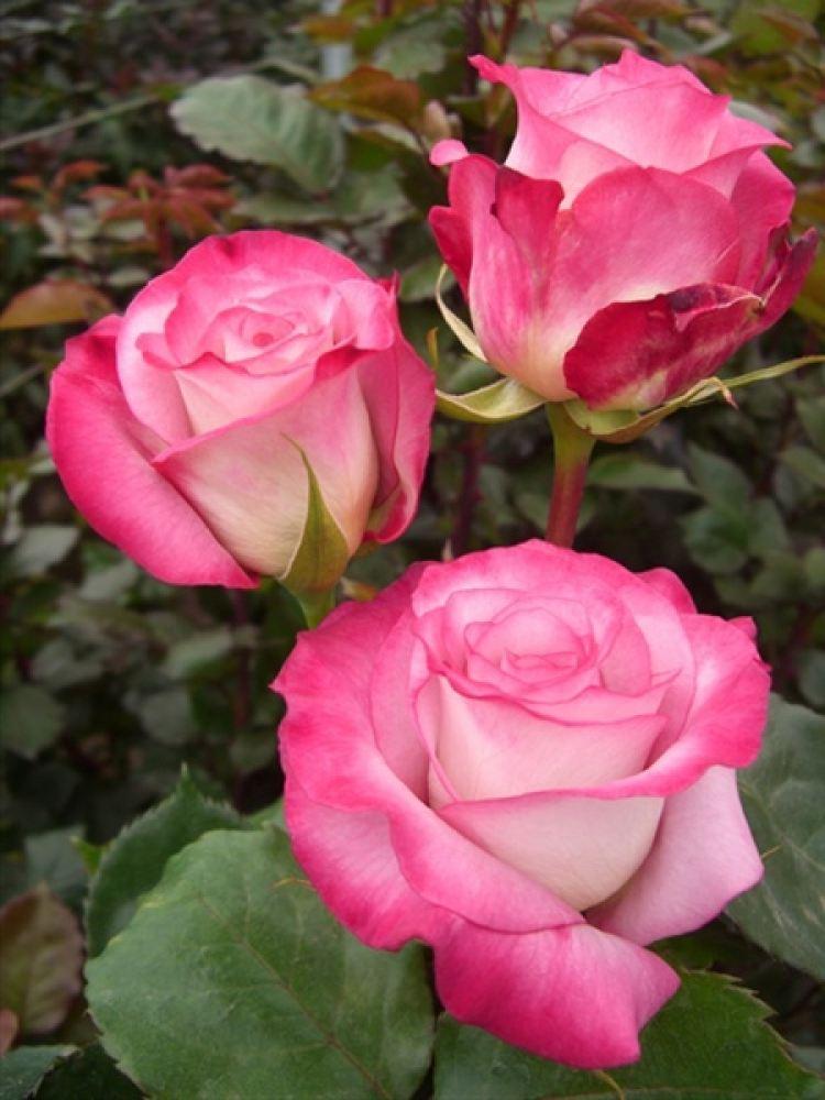 Роза Джулия (Julia) двухцветные розы
