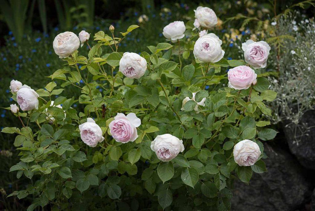 Роза Герцогиня Кристиана (Herzogin Christiana) розовая роза