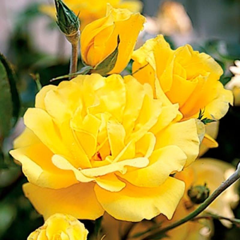 Троянда Голден Шоуерс (Golden Showers)