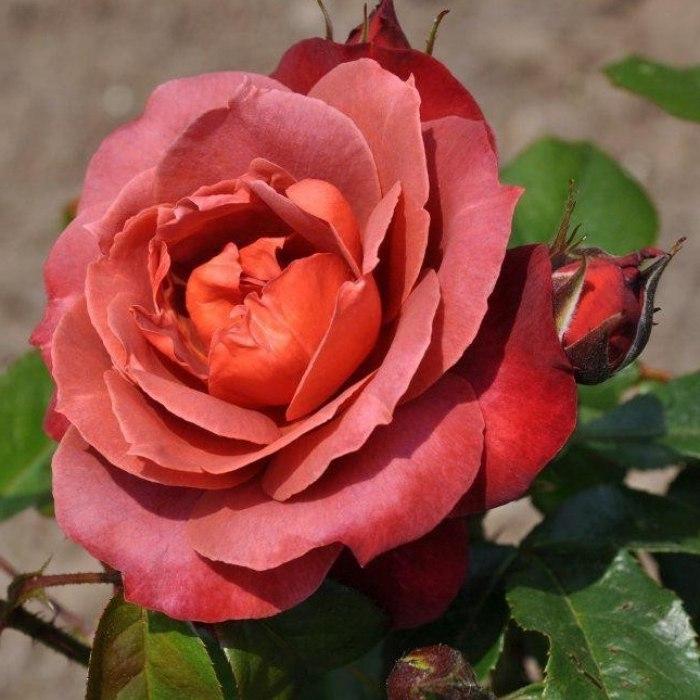 Роза Хот Кокоа (Hot Cocoa) коричневые розы