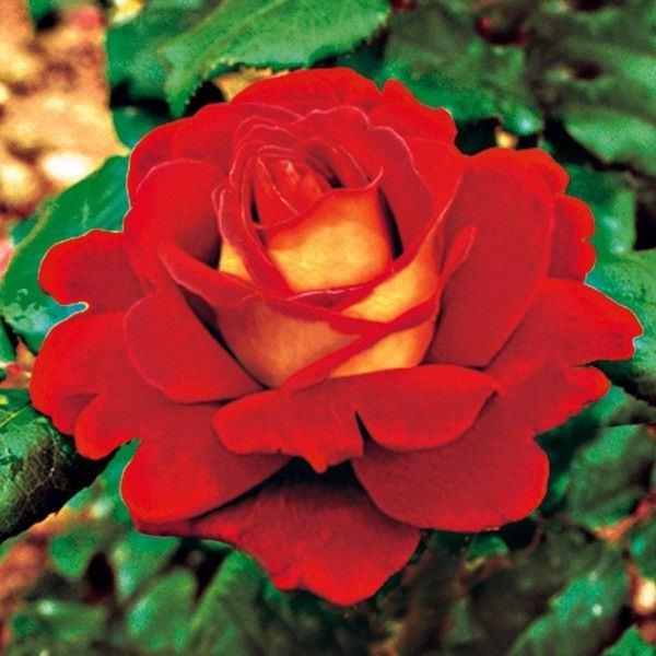 Роза Копакабана(Rose Copacabana) красные розы