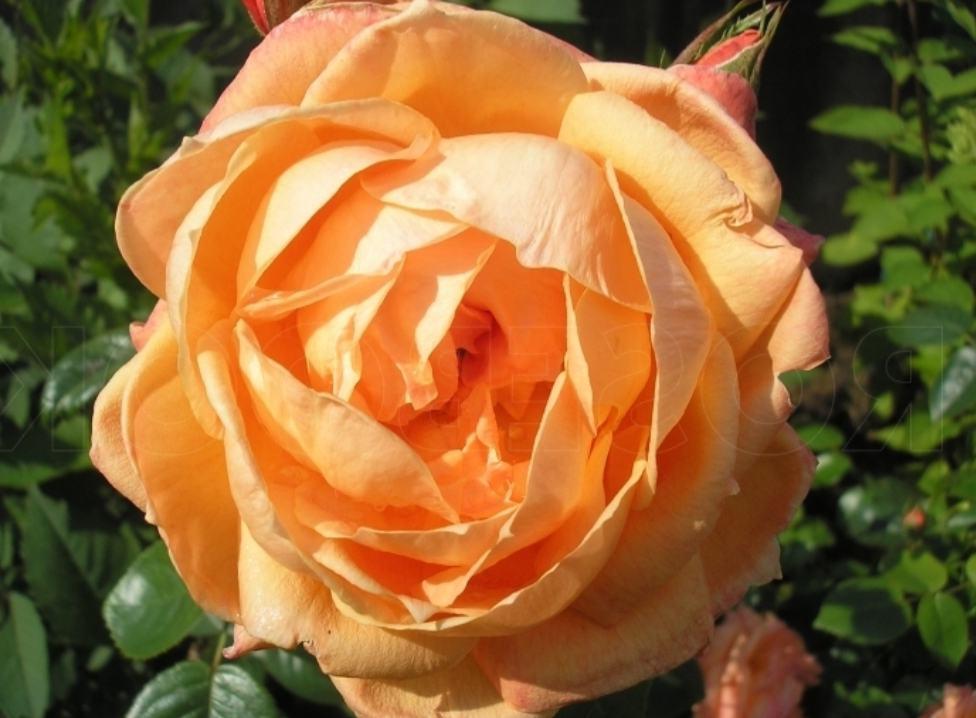 Роза Леди Мармелад(Lady Marmalade) устойчивая к болезням, оранжевые розы