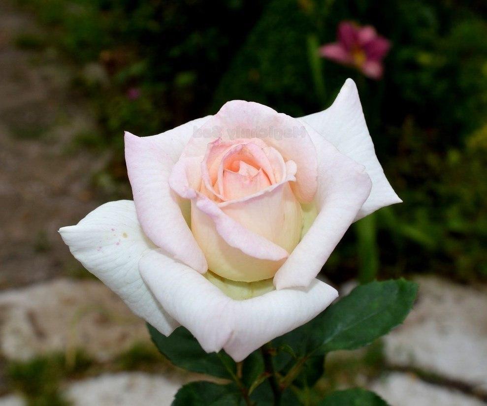 Роза Лидинг Леди (Leading Lady) ароматные, устойчивая к болезням, белые розы