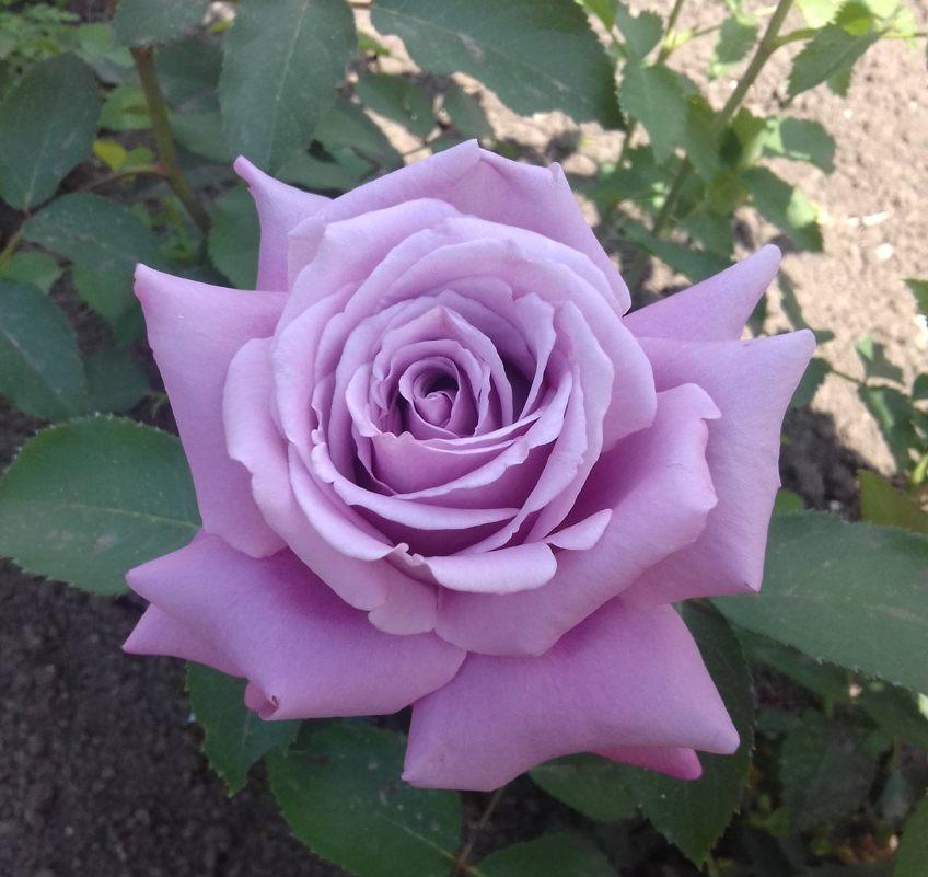 Роза Майнцер Фастнахт (Mainzer Fastnacht) сиреневая роза, ароматные, устойчивая к болезням