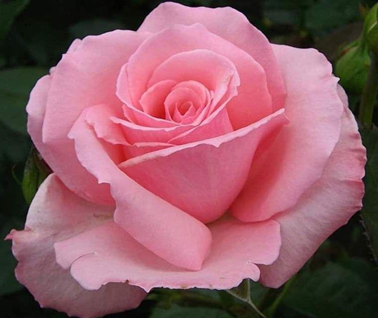 Роза Мэрхен Кениген (Merhen Kenengen) розовая роза