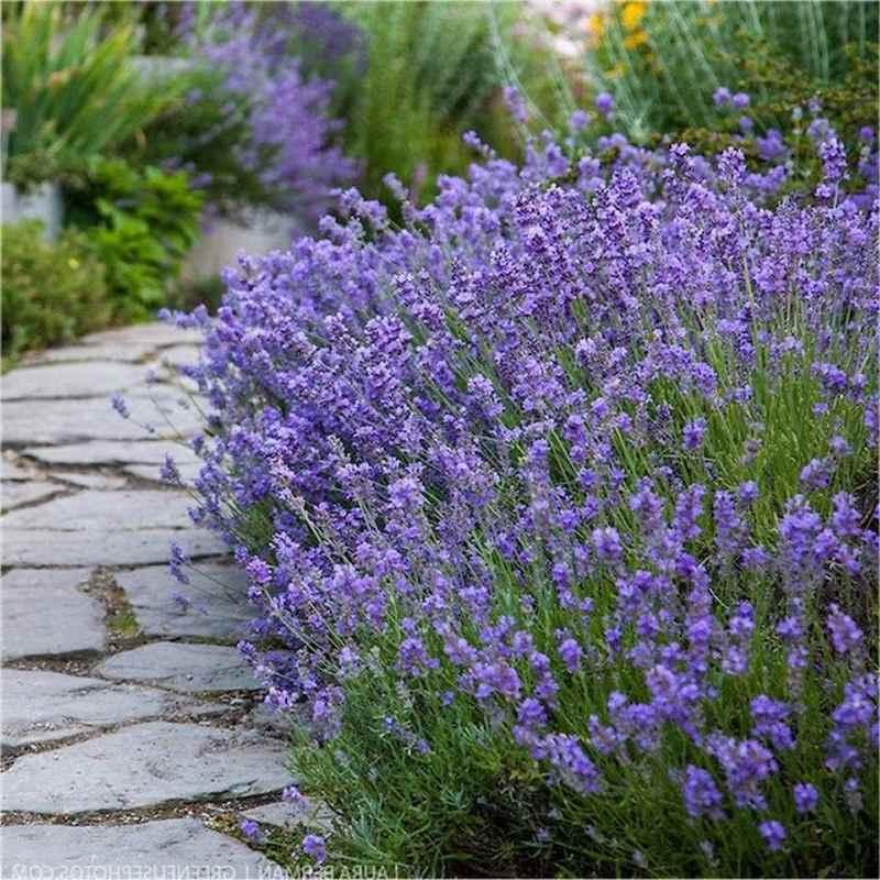 Лаванда узколистная Мунстед (Munstead) Красивоцветущие растения, декоративный кустарник, ароматные, красивоцветущий кустарник