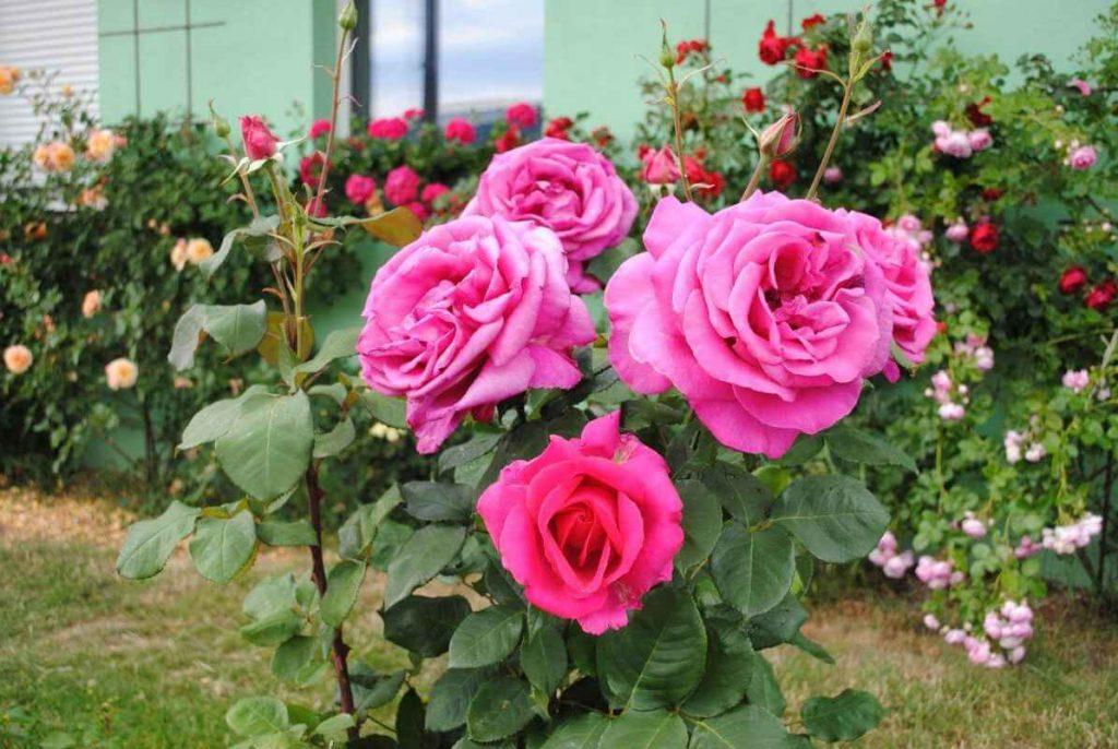 Роза Пароль (Parole) розовая роза, ароматные