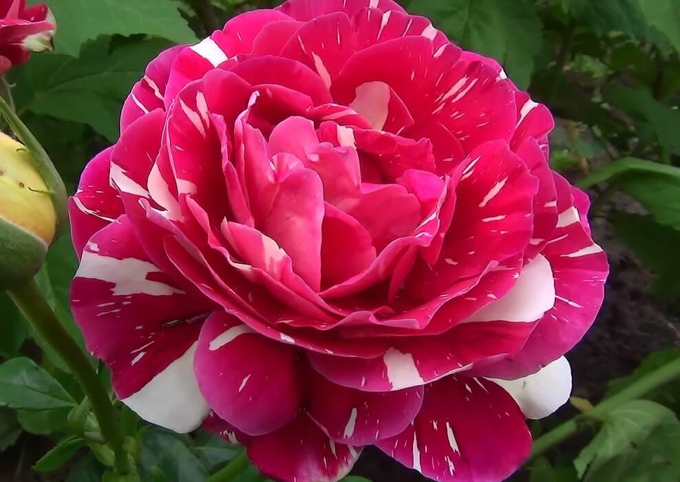 Роза Пестрая Фантазия (Pestraja Fantazija) двухцветные розы, для срезки